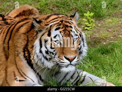 Feroce cercando maschio siberiano o tigre di Amur (Panthera tigris altaica) Foto Stock