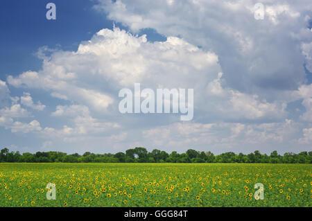 Campo di girasoli. Composizione della natura.