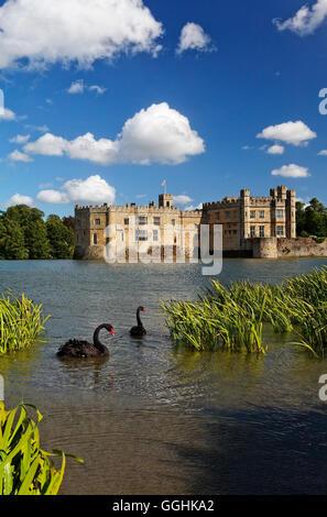 Cigni neri su un lago, il Castello di Leeds, Maidstone Kent, Inghilterra, Gran Bretagna Foto Stock