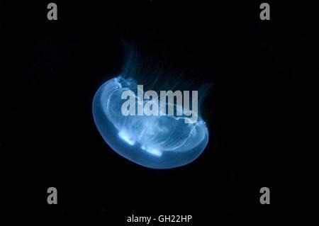 Luna jelly, comune meduse o luna medusa (Aurelia aurita) Mar Nero Foto Stock