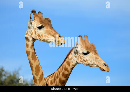 Coppia di traliccio giraffe o somalo di giraffe, Giraffa camelopardalis reticulata Foto Stock