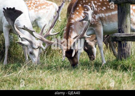 Avvistato cervi pascolare insieme in una contea inglese Park Foto Stock