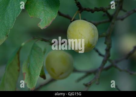 Un maturo prugna noto come un Oullins Gage appeso a un albero pronto per il raccolto. Foto Stock