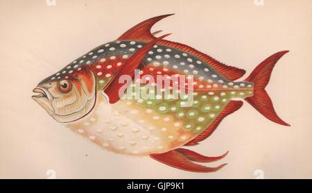 OPAH. Lampris guttatus, moonfish, oceano redfin pan,Gerusalemme eglefino. Il lettino 1862