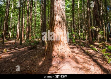 Redwood (Sequoia) foresta a Rotorua, Isola del nord, Nuova Zelanda Foto Stock