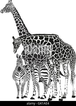 Due giraffe e due zebre Foto Stock