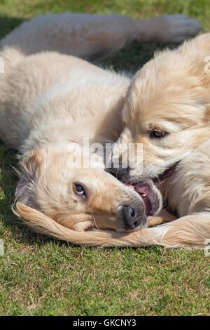 Golden Retriever cuccioli. I gemelli di rivalità. (Canis lupus familiaris). Foto Stock