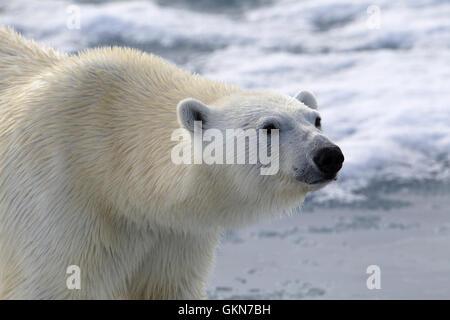 Faccia di orso polare in stretta fino Foto Stock