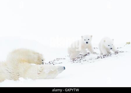 Orso polare madre (Ursus maritimus) scorrevole verso il basso, giocando con due nuovi nati cuccioli, Wapusk National Foto Stock