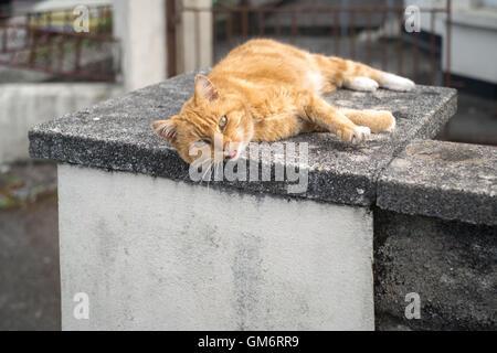 Un ginger tom cat posa su un caldo soletta di calcestruzzo nel tardo pomeriggio 24 Agosto 2016 Foto Stock