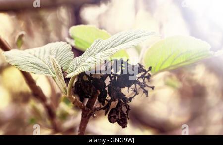 Della gioventù e della vecchiaia come simbolo nel verde delle foglie e bacche di vecchio Foto Stock