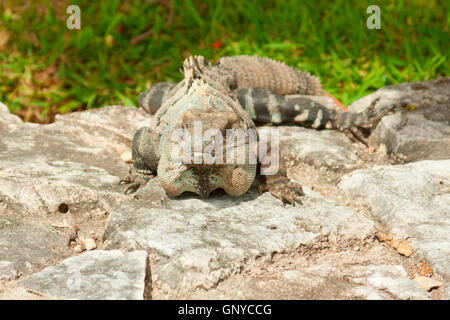 Iguana che posano per una fotografia in Messico. Foto Stock