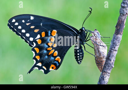 E. a coda di rondine nero Butterfly Papilio polyxenes, femmina, appena emerso dal pupa, USA orientale Foto Stock