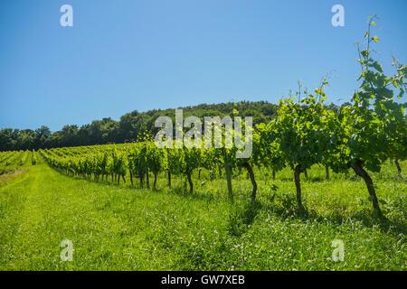Alba sui vigneti di uve nella zona di Bordeaux, Francia, Europa