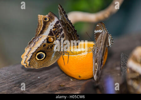 Helena morfo (Morpho helenor carillesis) a Orange Foto Stock