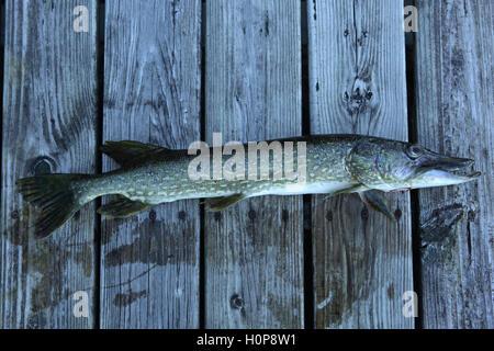Il luccio del nord catturati da una ragazza la pesca in un lago del Vermont su un atterraggio in legno. 25 pollici Foto Stock