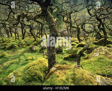 Nero a Tor copse sul fiume Okement, Dartmoor Devon, Inghilterra, Regno Unito: alta altitudine in legno di quercia. Foto Stock