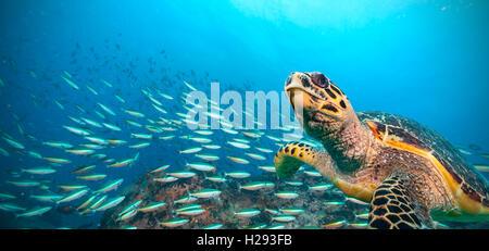 Hawksbill tartaruga di mare fluente nell oceano Indiano Foto Stock