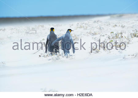 Re pinguini (aptenodytes patagonicus) a piedi attraverso una tempesta di neve, east Falkland, Isole Falkland, Sud Foto Stock
