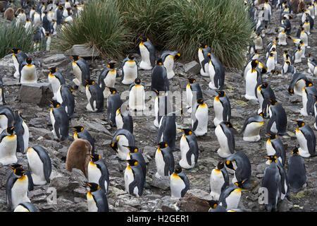 Guardando verso il basso sulla vasta pinguino reale (Aptenodytes patagonicus) Colonia a Salisbury Plain sulla Georgia del Sud. Allevamento stimato