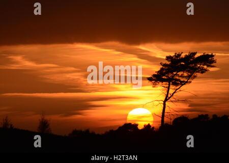 Arancio brillante panorama al tramonto con il sole che tramonta dietro di pino sulla brughiera nel Surrey, Inghilterra Foto Stock