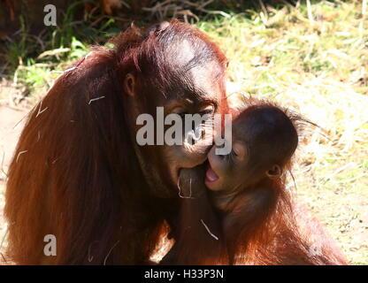 Baby Bornean orangutan (Pongo pygmaeus) giocando con un vecchio gemelli Foto Stock