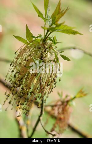 Acer Negundo v. Casella Californicum Edler Jane Ann Butler JABP Fotografia1649 Foto Stock