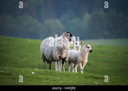 Illuminato dalla luce del sole serale, Swaledale Ewe & Twin mulo agnelli stand su erba guardando da collina in campo agricolo - terreno agricolo, Yorkshire Dales, Inghilterra, GB, UK.