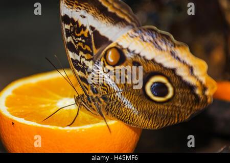 Helena morfo (Morpho helenor carillesis) arancione Foto Stock