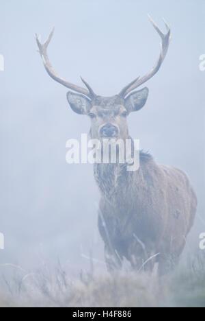 Il cervo (Cervus elaphus) feste di addio al celibato in piedi su un freddo inverno nebbiosa mattina, Knoydart, Lochaber, Scozia.