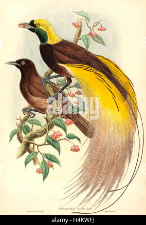 John Gould e W. Hart, British (1804-1881), uccello del paradiso (Paradisaea apoda), pubblicato 1875-1888, colorate a mano litografia