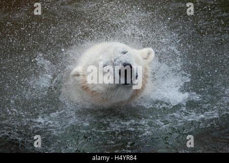 Orso polare (Ursus maritimus) agitando l'acqua. La fauna animale. Foto Stock