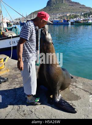 L uomo è comunemente noto come 'seal l uomo di Hout Bay la guarnizione di alimentazione con pesce nella sua bocca Foto Stock
