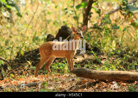 White-Tailed Deer Fawn (Odocoileus virginianus). Tropical foresta secca, Palo Verde National Park, Guanacaste in Foto Stock