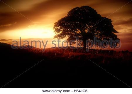 Albero di quercia e golden Sunrise stock footage. Una solitaria quercia in piedi nella campagna al mattino presto Foto Stock