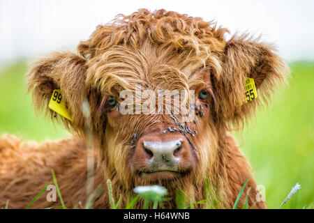 Close up di highland mucca vitello giacente in erba Foto Stock