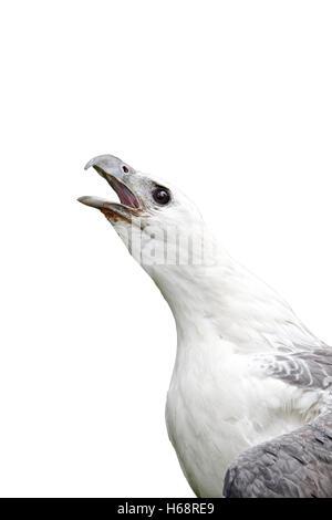 Bianco-mare panciuto-eagle, Haliaeetus leucogaster, singolo captive bird colpo alla testa chiamando, Indonesia, Marzo 2011