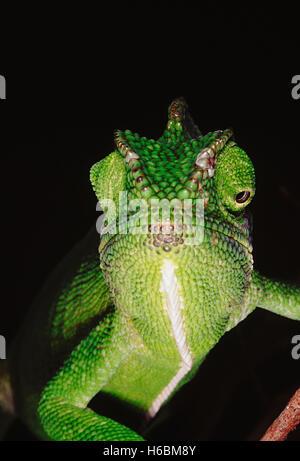 Il camaleonte ha la capacità di cambiare il suo colore così come ombra a seconda del suo umore e dintorni. Chameleon Foto Stock