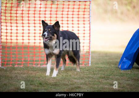Border Collie in hooper formazione Foto Stock