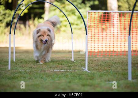 Collie scozzese in hooper la concorrenza Foto Stock