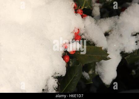 Holly bush ricoperta di neve