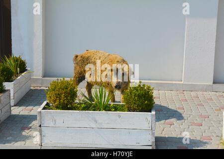 Maiale domestico con un insolito cappotto e aspetto Foto Stock