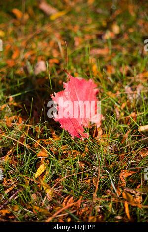 Unico red maple leaf in erba Foto Stock