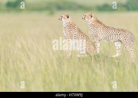 Due ghepardo (Acinonix jubatus) in piedi sul look out alla savana, il Masai Mara riserva nazionale, Kenya Foto Stock