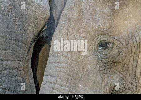Parte di una serie di immagini che documentano le complesse interazioni sociali dell'elefante africano si radunano Foto Stock
