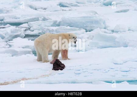 Giovane maschio orso polare (Ursus maritimus) alimentazione sui resti di una guarnizione ucciso sulla banchisa Foto Stock