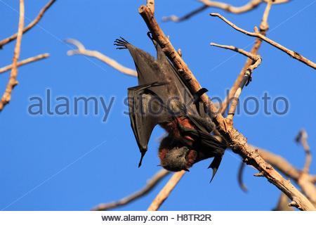A testa grigia flying fox (Pteropus poliocephalus) sul ramo, Australia. Foto Stock