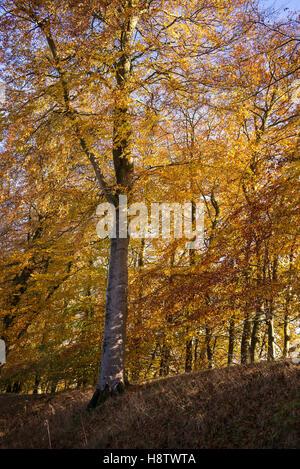 Fagus sylvatica - gloriosa Colore di autunno Europeo dei faggi in un bosco di latifoglie in autunno. Novembre. Hampshire, Foto Stock