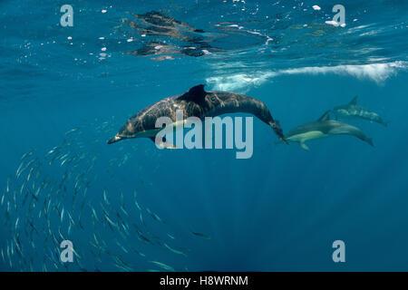 Fatturati delfini comuni (Delphinus capensis) gruppo a caccia di sardine durante il periodo delle sardine-run - Foto Stock
