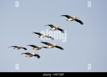 Pelican gregge in volo di migrazione Foto Stock